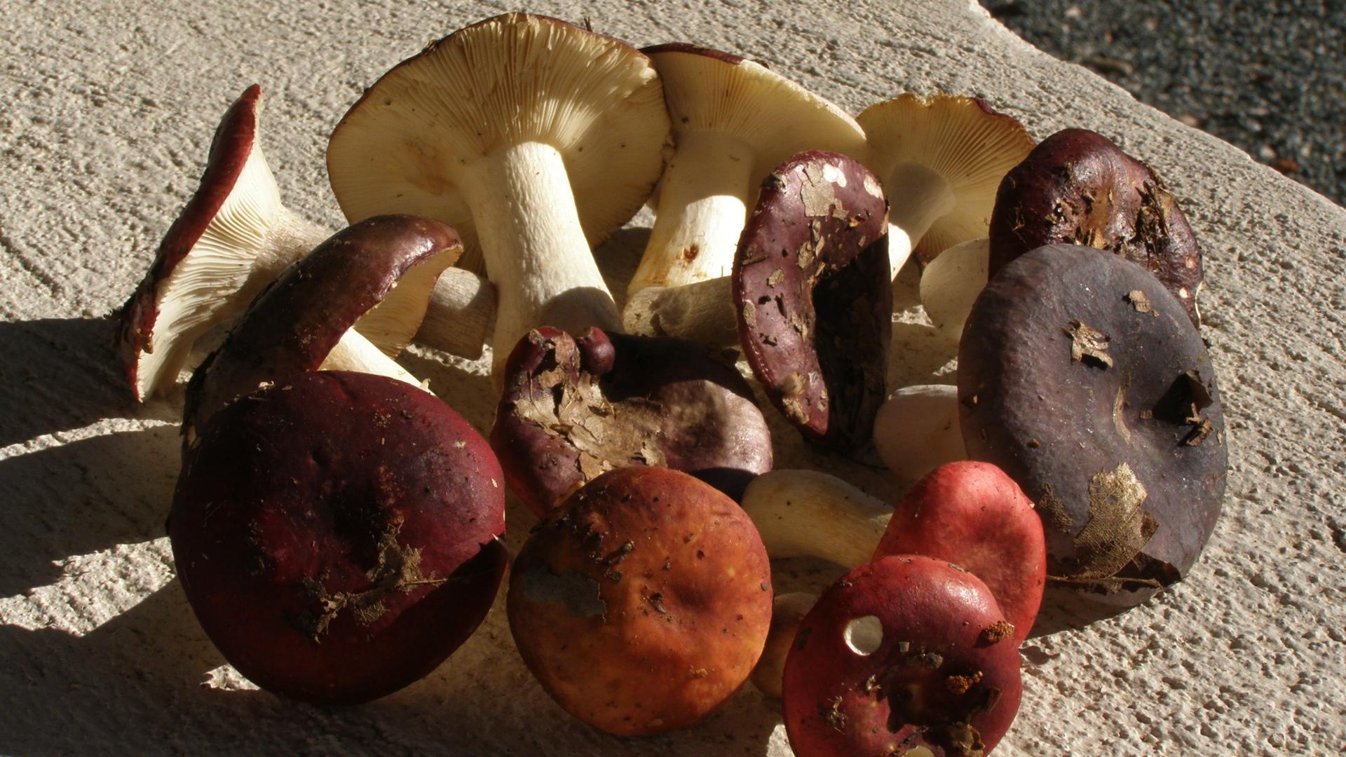 Galambgombák, többféle színváltozatban